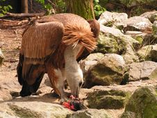 Free Vulture Eating Royalty Free Stock Photos - 2259248
