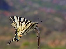 Free Butterfly Lepidopteron Stock Images - 2259754