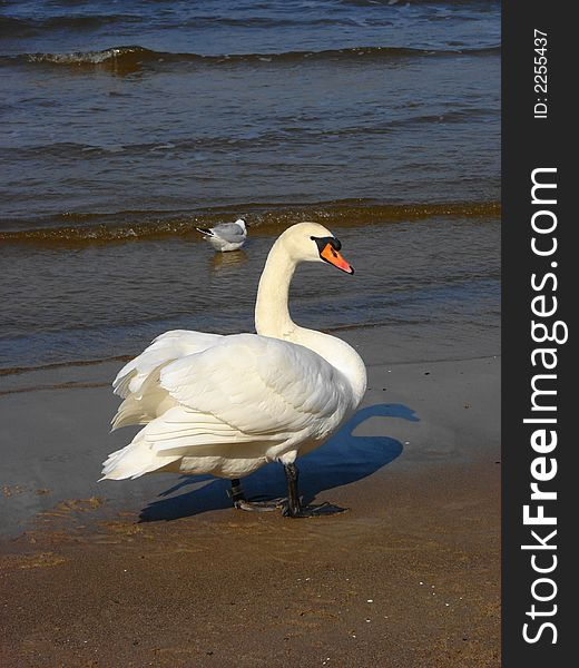 Swan and seagull