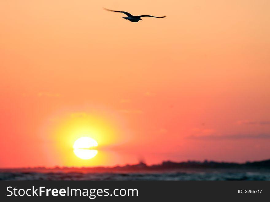 In flight, gull at sunset