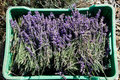 Free Lavender Flowers And Stems Harvest Royalty Free Stock Photo - 22506685