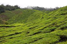 Highland Resort - Tea Plantation Royalty Free Stock Image