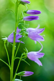 Free Campanula In The Garden Royalty Free Stock Image - 22500786