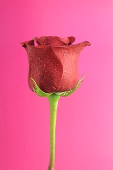 Free Pretty Red Rose With Dew Drops Royalty Free Stock Photo - 22503065