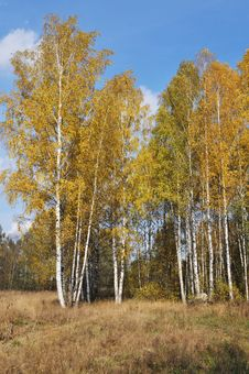 Free Autumn Birch Wood Royalty Free Stock Photography - 22509807