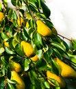 Free Pear-tree Stock Photo - 22511690
