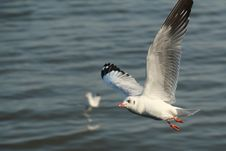 Free Seagull Flying On The Sea . Stock Images - 22510644