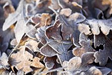 Free Frost Covered Oak Leaves Royalty Free Stock Photography - 22510667