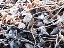 Free The Anemone Leaves Covered With A Frost Royalty Free Stock Photo - 22511125