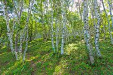 Free White Birch Forest Landscape Stock Photos - 22512493
