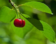 Red Sweet Cherry Royalty Free Stock Images