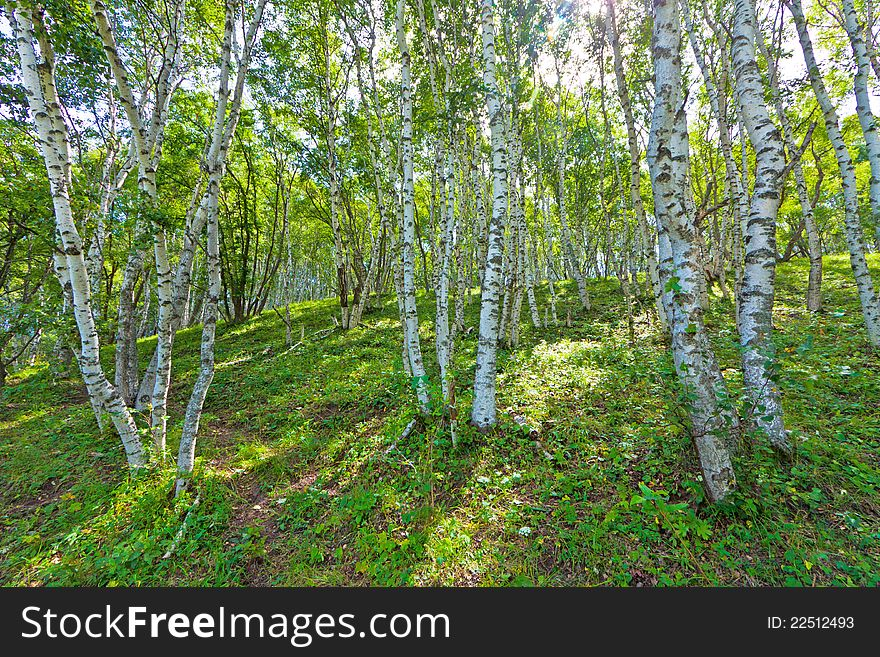 White birch forest landscape