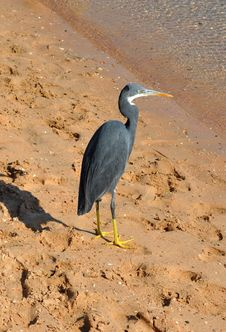 Free Reef Heron, Egretta Gularis Royalty Free Stock Images - 22521319
