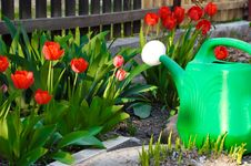 Free Watering Can Among Red Tulips Stock Photos - 22531253