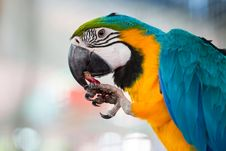 Free Macaw Eating Fruit Stock Photos - 22538533