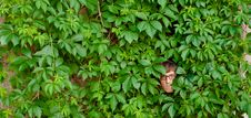 Free Face Among Ivy. Royalty Free Stock Photography - 22541667