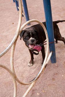 Free Boxer_7 Royalty Free Stock Photo - 22545545