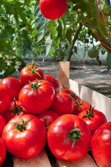 Ripe Tomatoes Stock Photos