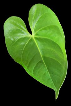 Free Green Leaf With A Shape Of Heart Royalty Free Stock Photo - 22550465