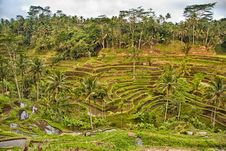 Free Rice Terraces In Bali Stock Photography - 22555152