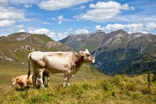 Free Alpine Cows. Royalty Free Stock Image - 22557426