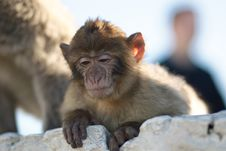 Free The Barbary Macaque Royalty Free Stock Photography - 22562137