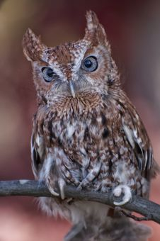 Free Screech Owl Posing Stock Images - 22563264