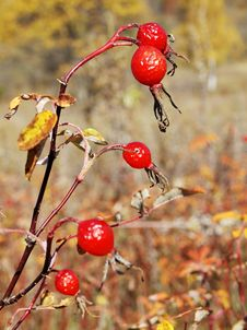 Free Berry Sweetbriar Stock Image - 22567071
