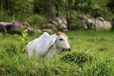 Resting Brahma Stock Images