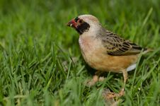 Free Red Billed Quelea Stock Photo - 22567730