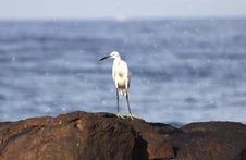 Free White Egret Royalty Free Stock Image - 22568926