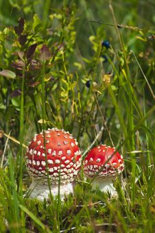 Free Red Amanita In The Woods Royalty Free Stock Images - 22570169