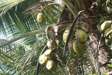 Free Green Coconuts Hanging On Tree Royalty Free Stock Image - 22571546