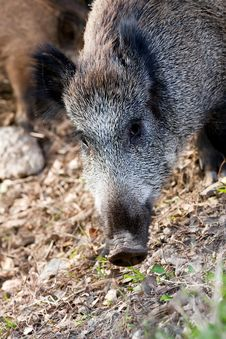 Free Wild Boar Royalty Free Stock Photos - 22573678