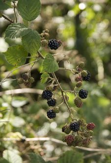 Free Wild Blackberries Stock Photos - 22578883