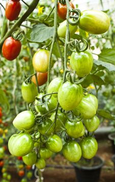 Free Cherry Tomatoes Stock Images - 22579954