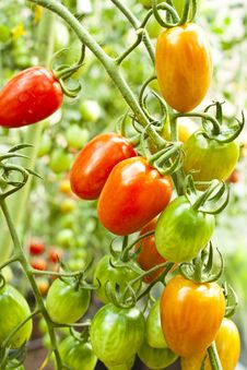 Free Cherry Tomatoes Stock Photography - 22579992