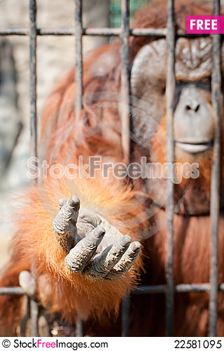 Free Hand Of Ape Royalty Free Stock Photo - 22581095