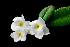 White Frangipani. Royalty Free Stock Photography