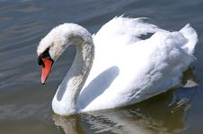 Free Big White Swan Stock Images - 22583394