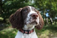 Free A Working Type English Springer Spaniel Puppy Stock Image - 22586401