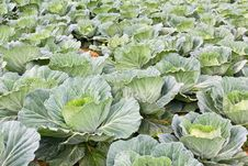 Cabbage Fields In Thailand Royalty Free Stock Photo
