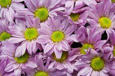 Pink Chrysanthemums Stock Photo