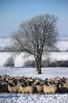 Free Sheep Under A Tree Royalty Free Stock Image - 22589646