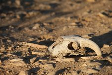 Free Animal Skull Royalty Free Stock Photo - 22593425