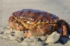 Rock Crab Royalty Free Stock Photos