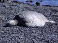 Free Sleeping Turtle Stock Photos - 2263503