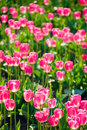 Free Pink Tulips Stock Photo - 2266400