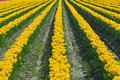 Free Endless Yellow Tulips Stock Photo - 2266510