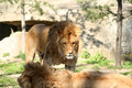 Free Lion And Lioness Royalty Free Stock Photo - 2267435